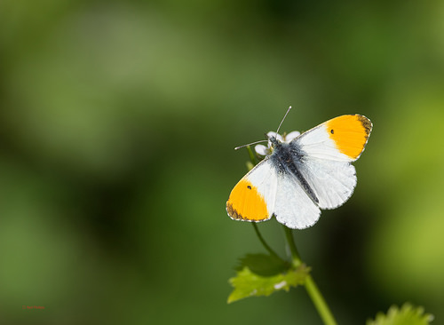 orange tip Displays a larger version of this image in a new browser window