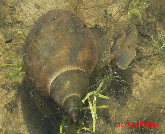 Wat tyler country park education greater pond snail for Garden pond snails